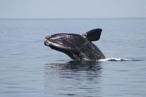 La 'ballena de los vascos' se extingue: solo quedan 356