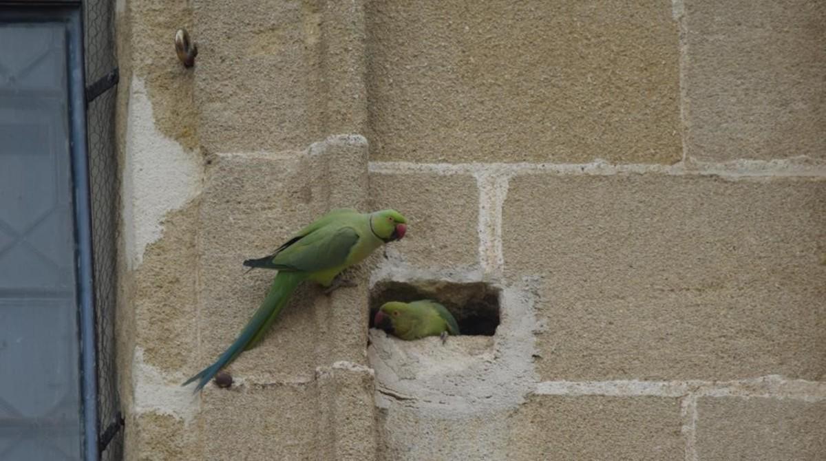 Pareja de cotorras de Kramer en una de las paredes de la catedral de Sevilla.