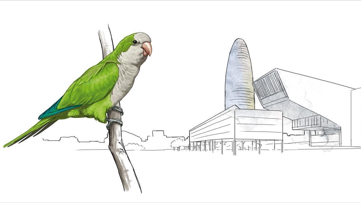 COTORRA ARGENTINA. La más habitual de todas las aves exóticas aclimatadas. Distribuida por toda la ciudad pero de forma discontinua. Unas 5.000 parejas. Mayores poblaciones en la Ciutadella, zona alta de la Diagonal, Sant Martí, Nou Barris y Montjuïc.
