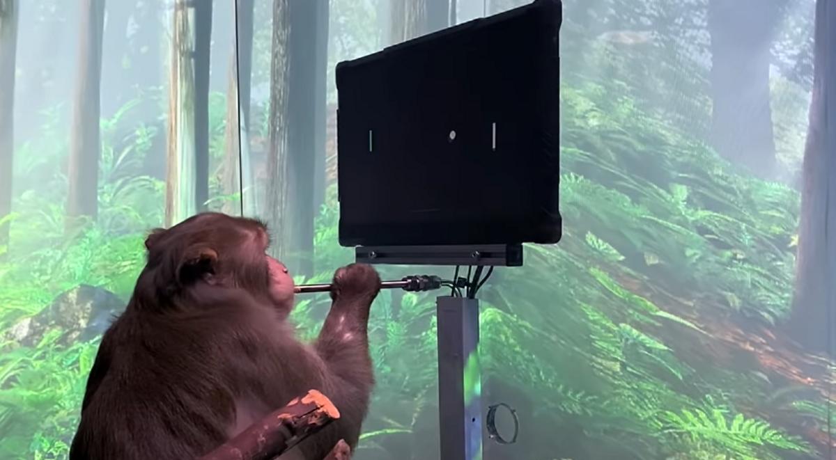 Pager, el macaco utilizado por Neuralink para jugar mentalmente al Pong