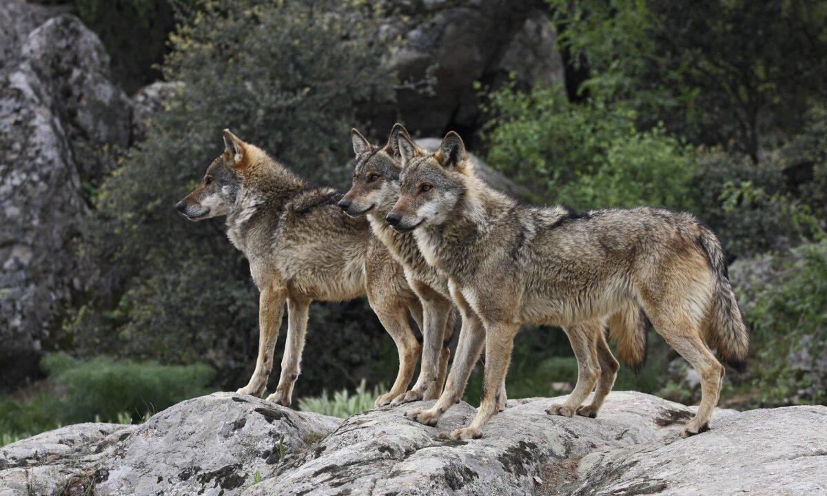 La caça del llop queda prohibida a Espanya a partir d'aquest dimecres