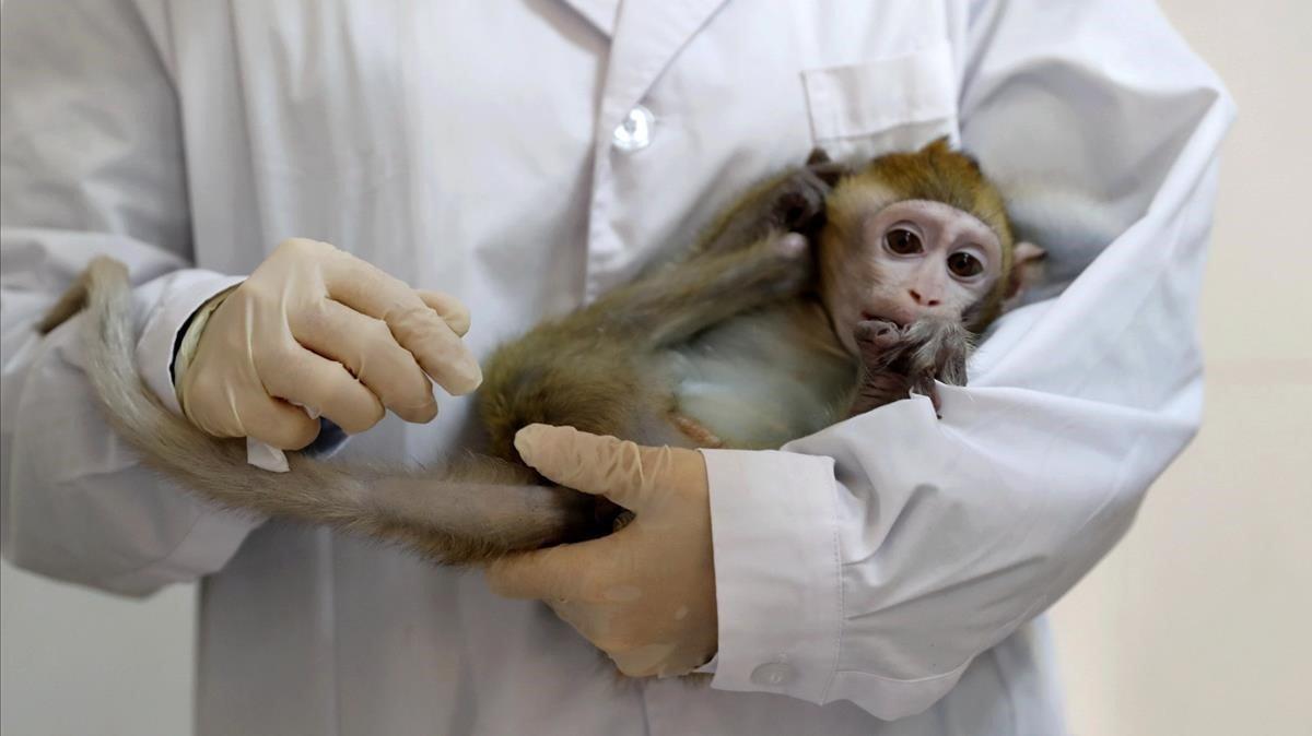 Un técnico de laboratorio sostiene un macaco, en una imagen de archivo