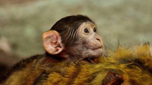Aquest és el moment en què el nostre cervell es diferencia d'altres primats