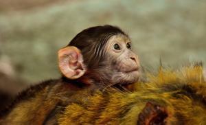 Ejemplar de macaco bebé