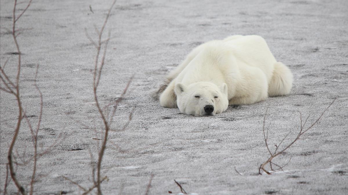 Un oso polar yace en la localidad de Norilsk, en Siberia