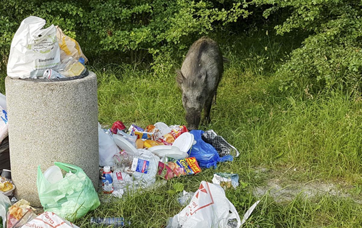 Un jabalí buscando rebuscando comida en una papelera