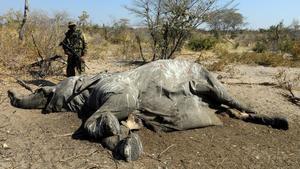 ¿Por qué mueren los elefantes de Botsuana?