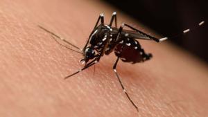 Mosquito del zika.