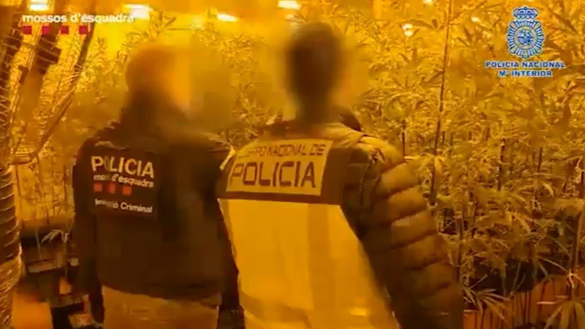 Una fàbrica xinesa de marihuana amagada en naus catalanes