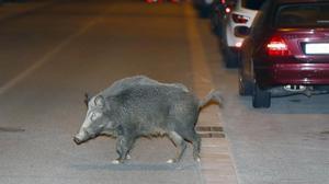 Un jabalí se pasea por Sant Cugat, en una imagen de archivo