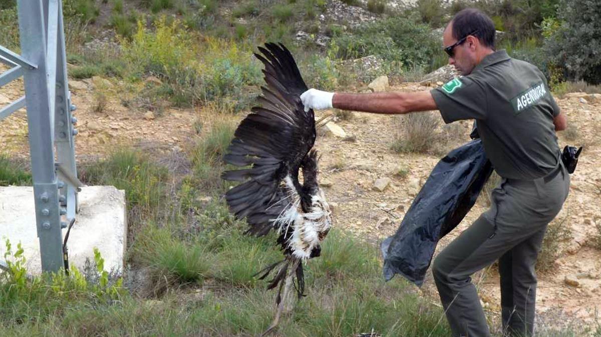 Una ave electrocutada en la comarca de la Noguera.