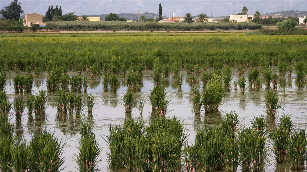 Campos de arroz en el delta del Ebro.
