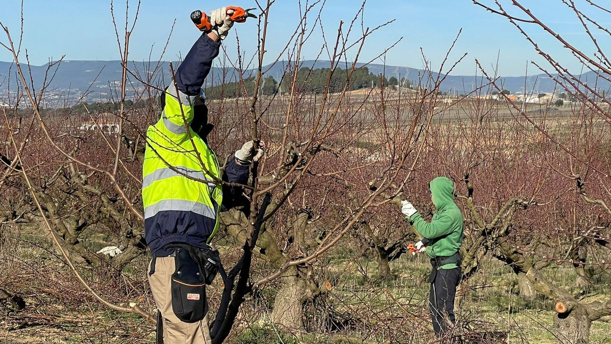 Dos jóvenes podan melocotoneros en la iniciativa de relieve agrario Coopera, un Proyecto Singular de la cooperativa Actúa