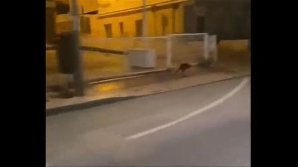 El canguro visto en Murcia.