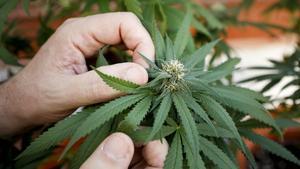 Planta de marihuana en un cultivo doméstico de Barcelona.