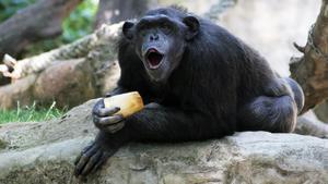 Un chimpancé del Zoo de Barcelona comiendo fruta helada