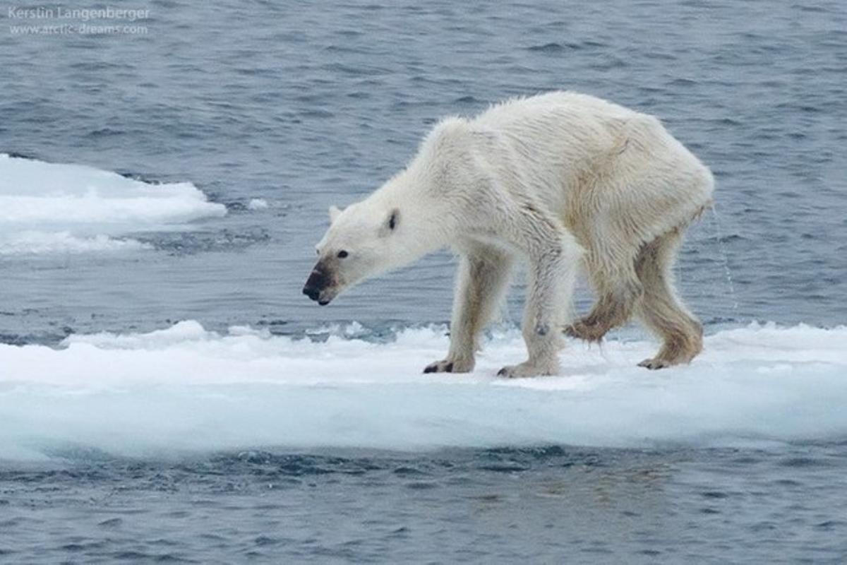 La foto de un oso polar desnutrido alerta sobre cambio climtico
