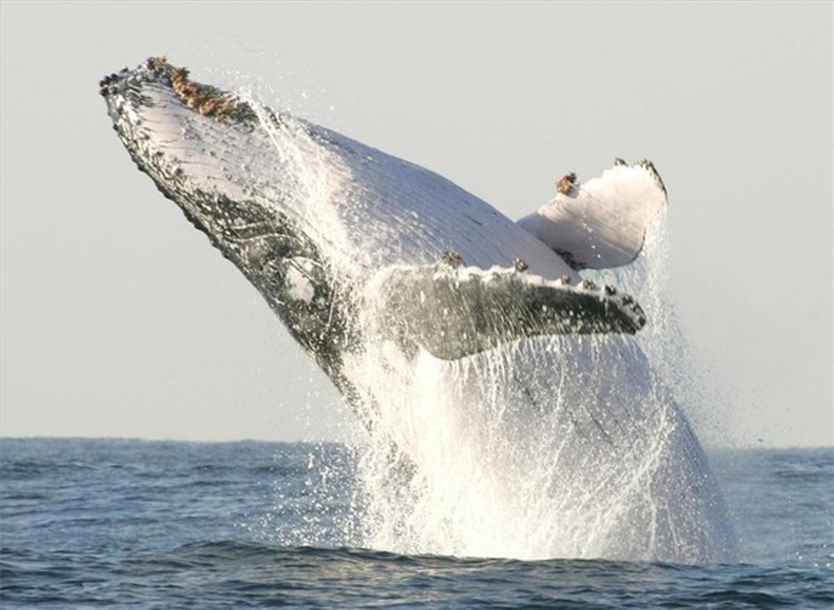Imagen de un ejemplar de ballena jorobada.