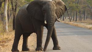 Un elefant travessa la carretera al parc nacional de Hwange, a Zimbàbue, el dia 1 d'octubre.