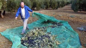 Recogida de olivas en Martos (Jaén).