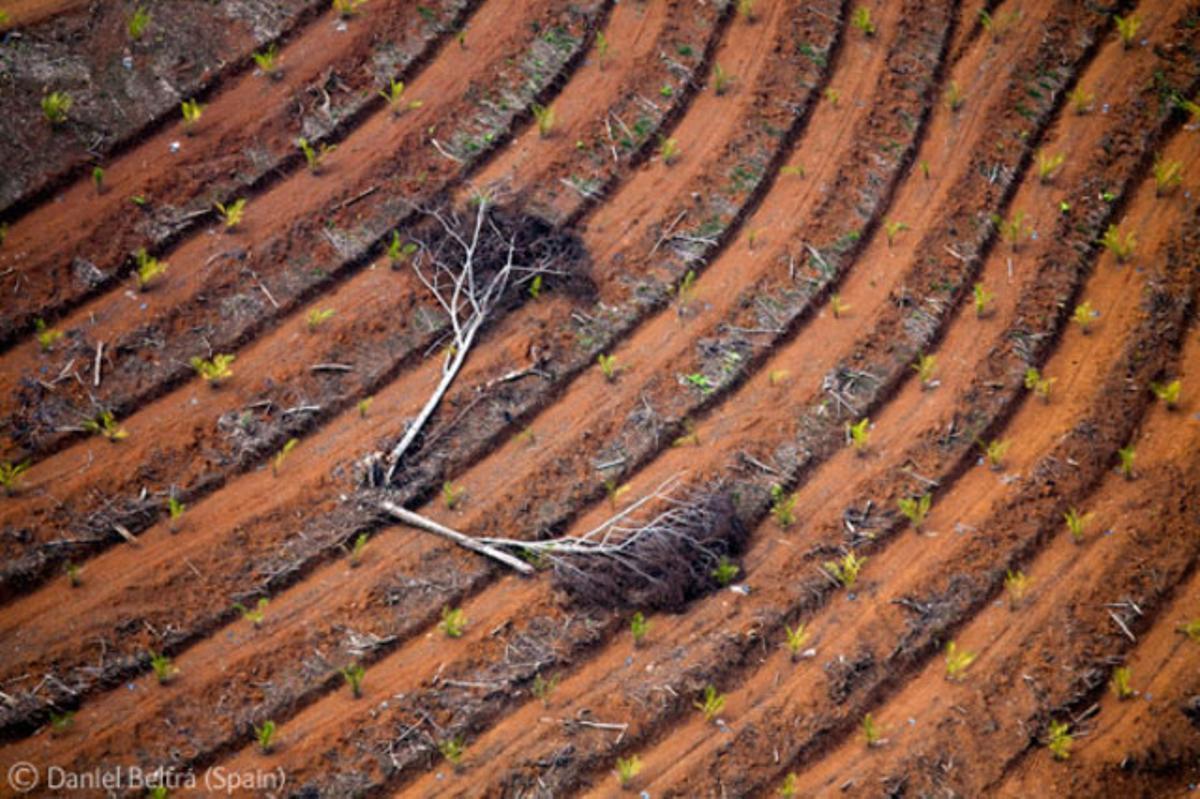 El último corte. Destrucción de los últimos árboles en una zona de Indonesia, fotografiados por el español Daniel Beltrá.