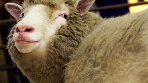 25 anys de l'ovella Dolly, el fracàs que va canviar la ciència