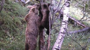 Una cámara capta a una cría de oso pardo en el Pallars Sobirà