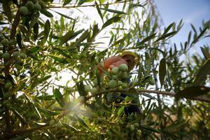 UPA i Lidl pacten en 2,6 euros el preu mínim de cost de l'oli d'oliva tradicional