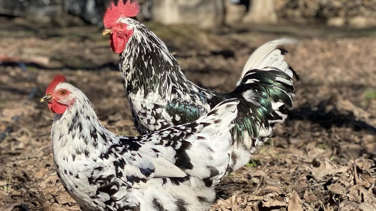 Dos ejemplares de la gallina pita pinta asturiana, amenazada de riesgo de extinción.