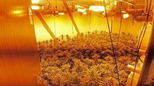 Una plantación de marihuana en el interior de un domicilio del barrio de Sant Roc de Badalona.