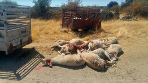 Planas i Ribera s'enfronten pel llop