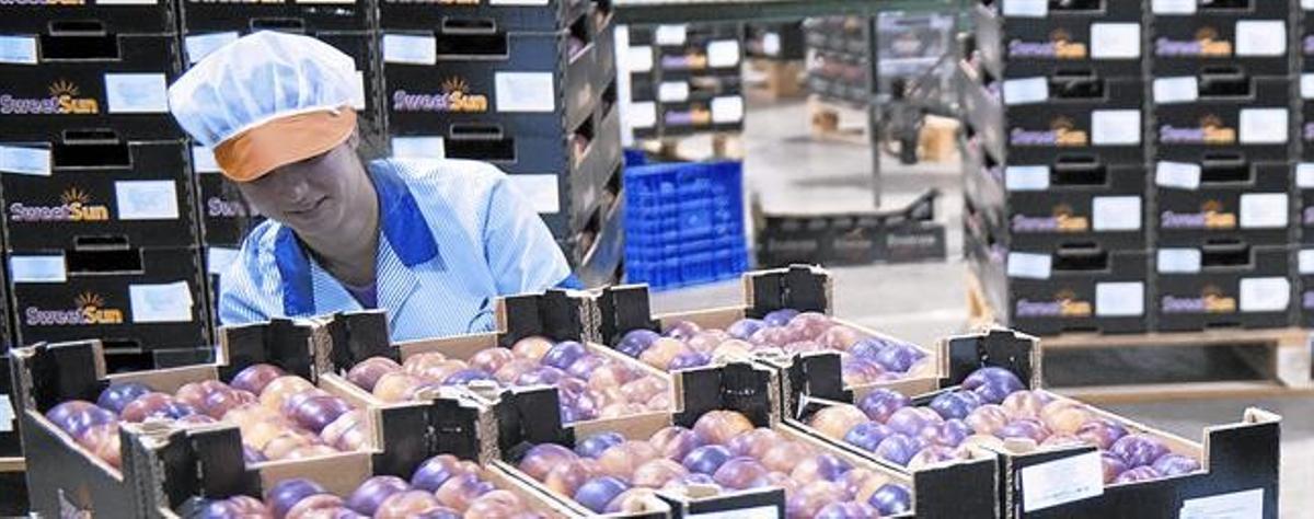 Clasificación de fruta en la cooperativa Fruitona de Aitona,el pasado miércoles.