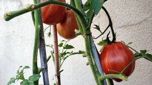 Una mata de tomates, en un huerto en casa.