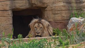 Un león descansando en el Zoo de Barcelona.