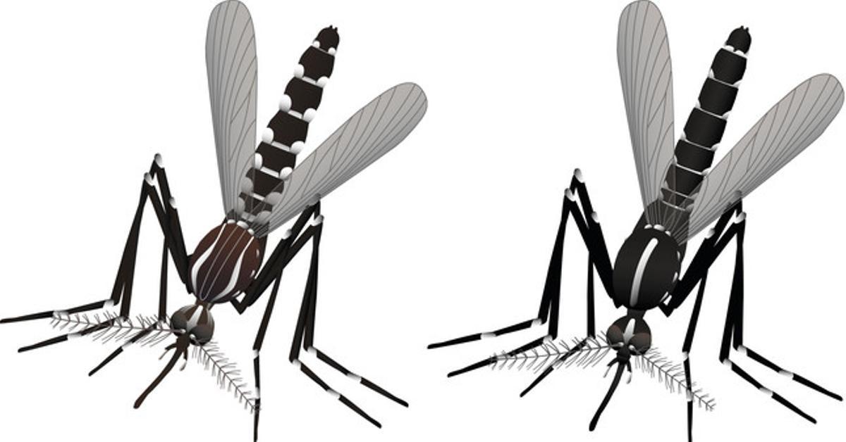 Dibujo para diferenciarel mosquito transmisor dela fiebre amarilla y el Zika (Aedes aegypti)y el tigre (Aedes albopictus).