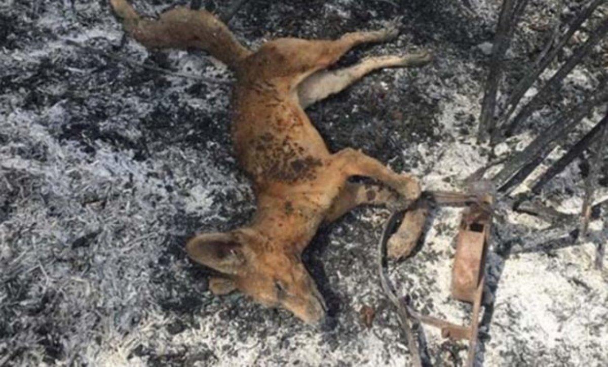 La sobrecogedora imagen de un zorro muerto por un incendio tras caer en una trampa ilegal