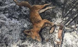 La colpidora imatge d'una guineu morta per un incendi després de caure en una trampa il·legal