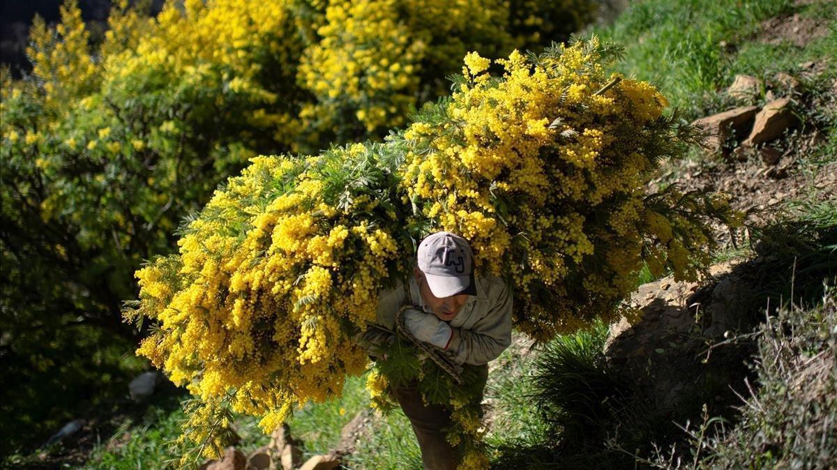 Un hombre traslada ramas de mimosa cosechadas cerca de la aldea de Seborga, en el noroeste de Italia.
