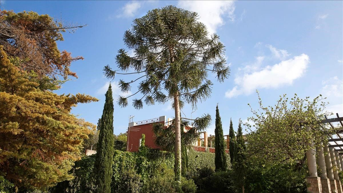 La Araucaria australiana en los Jardines del Teatre Grec.