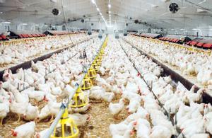 Una granja avícola.
