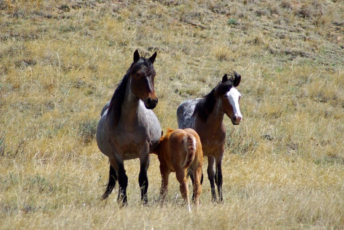 La historia del caballo: solo el 1% vive en estado silvestre