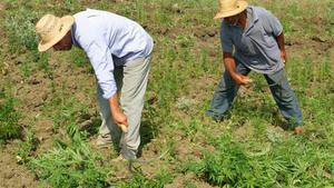 Erradicación del cultivo del cannabis en la provincia de Larache, en junio de 2005.