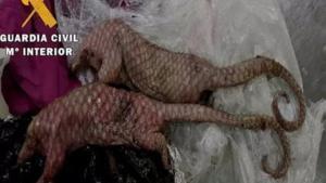 Los dos ejemplares de pangolín hallados en una maleta en Almería.