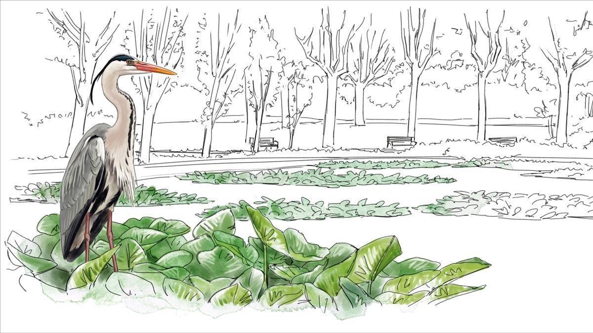 GARZA REAL. El Zooacoge unas 70 parejas reproductoras, una de las mayores poblaciones de Europa. En el resto de la ciudad es habitual observar ejemplares en vuelo oreposando en grandes estanques (Turó Parc, Diagonal Mar, Laberint, pantano de Vallvidrera).