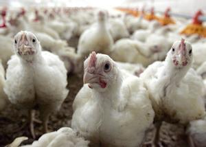 Un grupo pollos, en una granja.