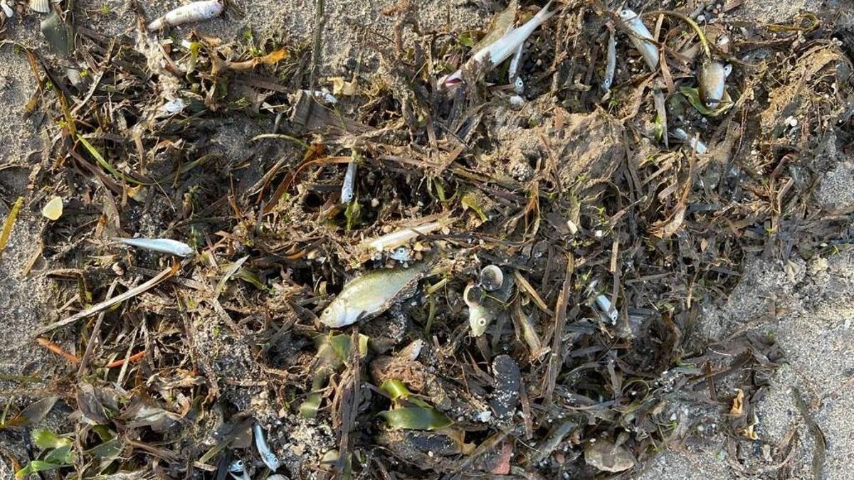 Peces muertos en el Mar Menor.