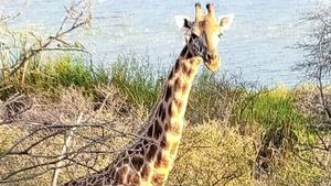 Rescate de la única jirafa macho en una isla inundada en Kenia