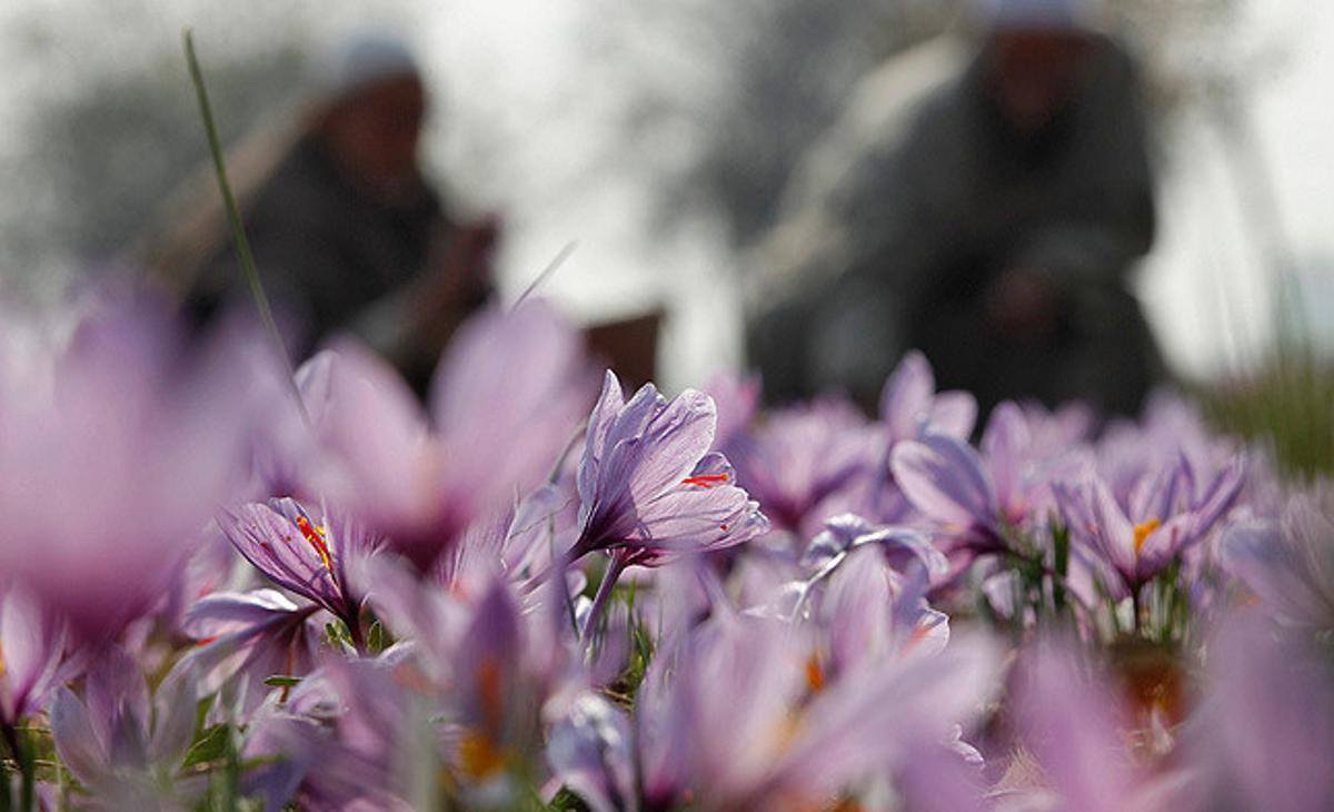 Habitantes de Cachemira recogen flores de azafrán en un campo en la localidad de Pampore.