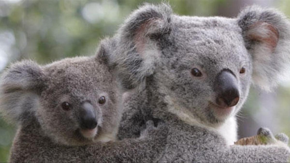 Dos koalas, en un bosque australiano.