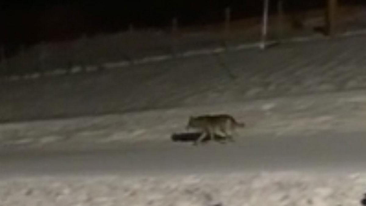 Un lobo se pasea por las pistas de esquí nevadas de Núria.
